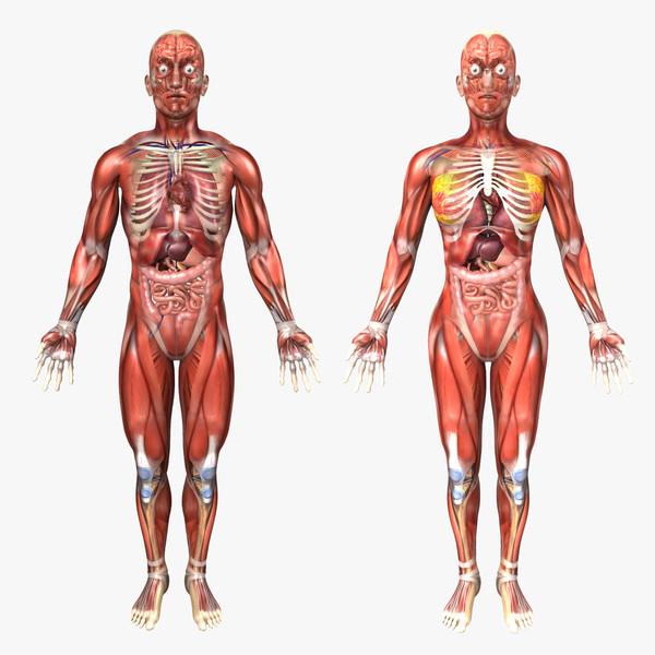 ferfi-no-anatomia
