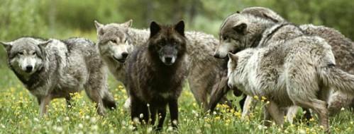 farkastorveny-hatalmi-rangsor-falka-1